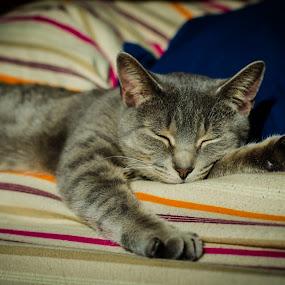 Sleepy Kitty by H. Ava-Lyn Smith - Animals - Cats Portraits ( cat, kitten, pet photography, cat nap, sleep, kitty )