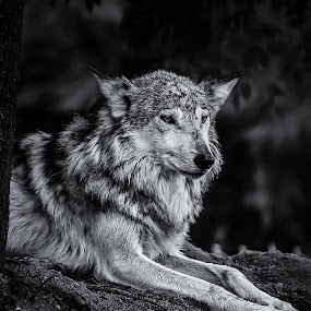 Leader of the Pack by Jeffrey Martin - Black & White Animals ( black and white, wolf, beautiful, wildlife, animal,  )