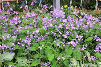 Photo: 拍攝地點: 梅峰-溫帶花卉區 拍攝植物: 紫花菜 拍攝日期: 2014_04_16_FY