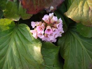 Photo: Вergenia cordifolia