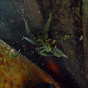 Araña Vagabunda Atigrada