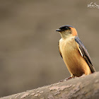 Swallow  -  Red-rumped Swallow