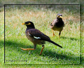 Photo: Common Myna - Acridotheres tristis  © NF Photo 130814 http://nfbirdworld.blogspot.se/2014/03/common-myna-acridotheres-tristis.html