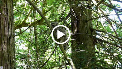 Video: Barred Owlet calling to be fed and as usual being harassed by Robins
