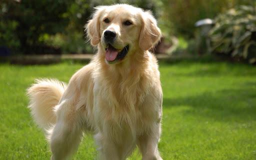 Golden Retriever Dog Wallpaper