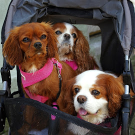 3 in a buggy by Ingrid Anderson-Riley - Animals - Dogs Portraits