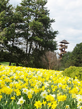 Photo: River of daffodils flowing in front of a wooden tower at Cox Arboretum in Dayton, Ohio.
