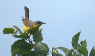 Photo: желтая трясогузка