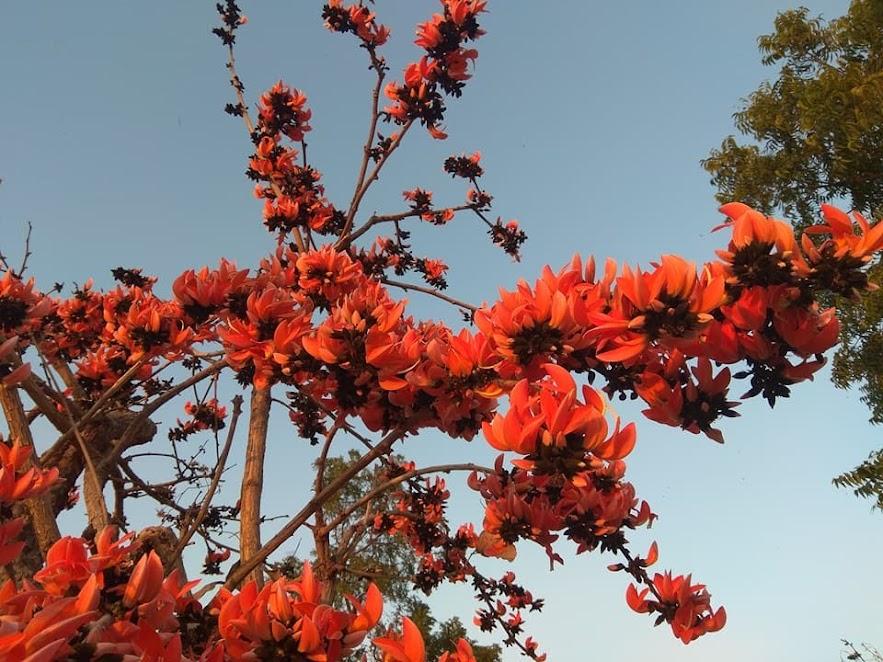 केशरी पळसाचे बहरात आलेले झाड . फोटो - वृक्षमित्र अनिल गाडवे
