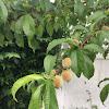 Domestic Peach