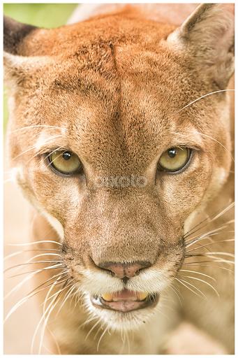 94b52845177 Cougar (Puma concolor) by Siu Generis - Animals Lions