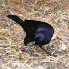 Shiny cowbird, Male