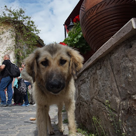 Street dog. by Matic Šulc - Animals - Dogs Puppies ( puppy, street, abandoned, lonely, dog )