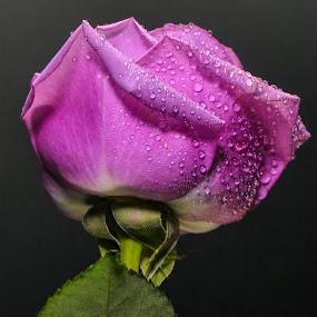 Purple  Rose 3 by Dave Walters - Flowers Single Flower ( macro, nature, colors, purple rose, lumix fz2500,  )