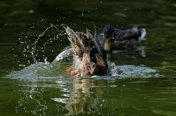 A duck dives to clean its feathers in a pond in central Vienna.