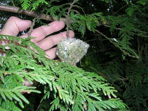 Photo: An old Rufous Hummingbird nest in cedar bough,
