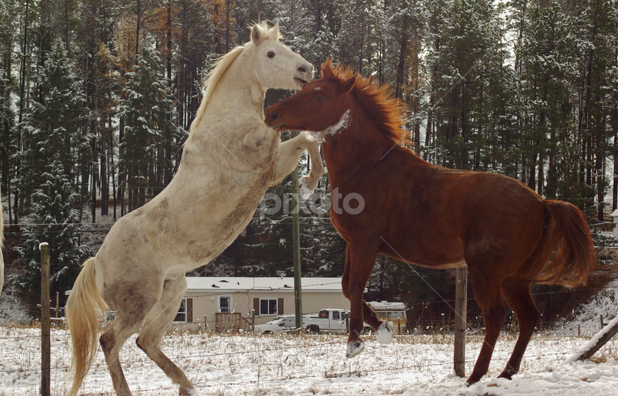 Here I come by Giselle Pierce - Animals Horses ( winter, horses, horse, farm animal, fighting )