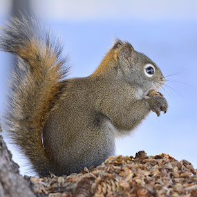 Squirrely Snack by E.g. Orren - Animals Other Mammals ( animals, nature, squirrels, eating, wildlife, close up, squirrel, animal,  )
