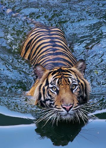 Si Bewok the swim again 3 by Ubayoedin As Syam - Animals Lions, Tigers & Big Cats