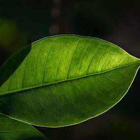 Green Light by Eduardo Llerandi - Nature Up Close Leaves & Grasses ( nature, leave, color, backlight )