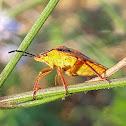 Red shield bug