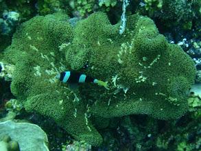 Photo: Amphiprion clarkii (Black Clarkii Clownfish), Stichodactyla mertensii (Mertens Carpet Anemone), Siquijor Island, Philippines