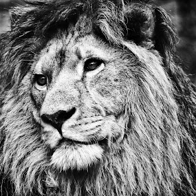 lion by Ales Jenko - Animals Other ( lion, black & white )