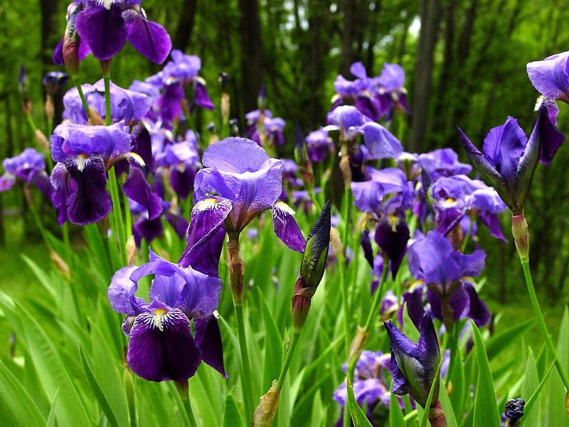 Iris-Vincent Van Gogh di AlexSandra