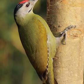 Woodpecker by Vivek Naik - Animals Birds ( woodpecker )