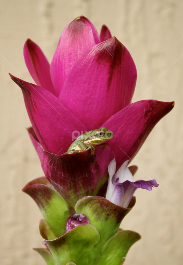 Froggy resting on Siam Tulip... by Ava Bethlenfalvy-Pitts - Nature Up Close Flowers - 2011-2013 ( frog, tulip, pink, tulips, flower,  )