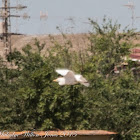 Cattle Egret; Garcilla Bueyera