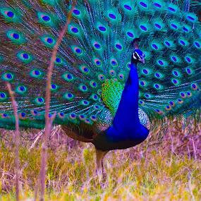 Peacock Dancing by Praveen Kulshreshtha - Animals Birds (  )