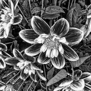 B&W flower 08 AYLI dahlia 82 18 pp11.jpg