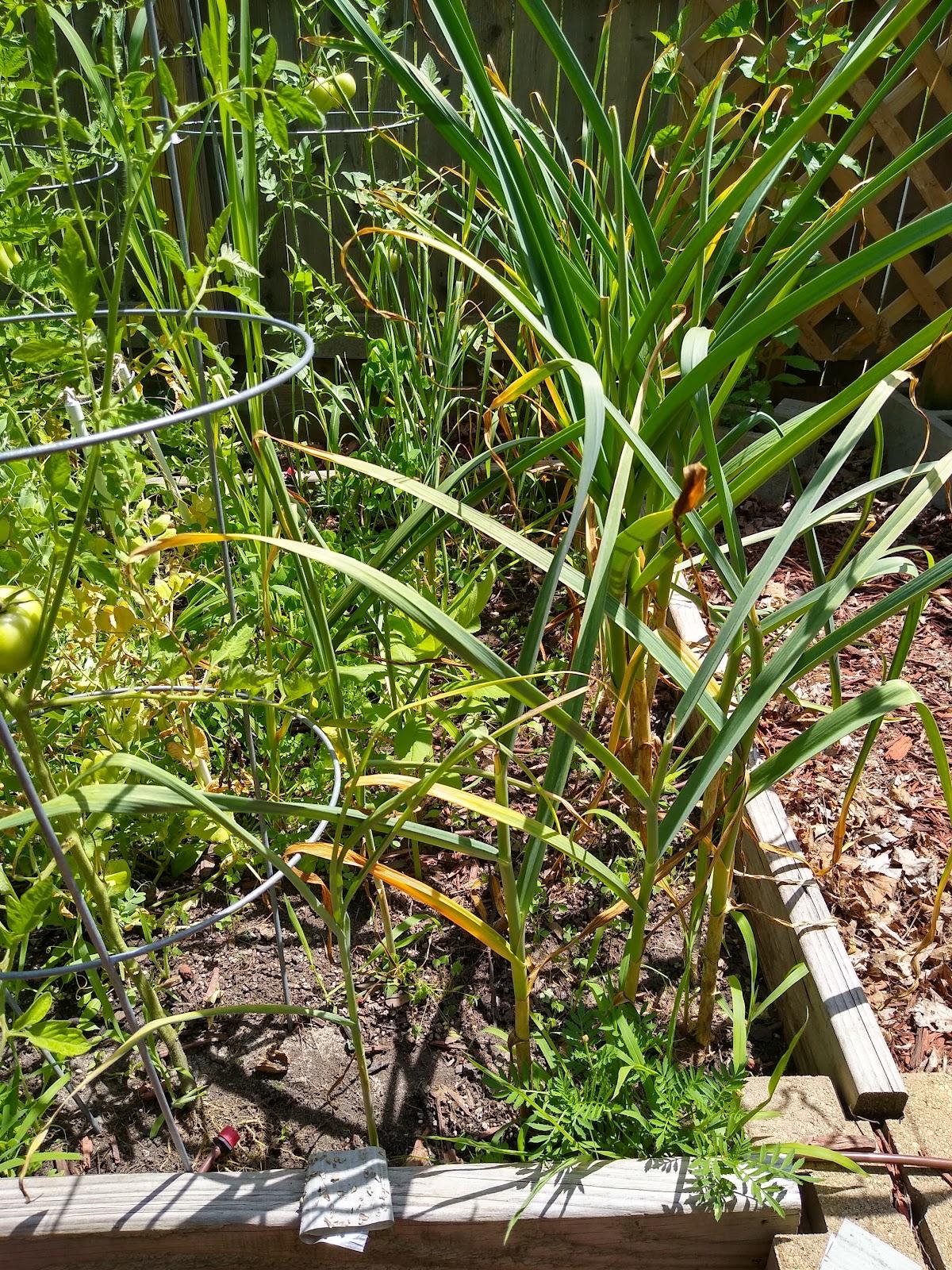 garlic plants picture