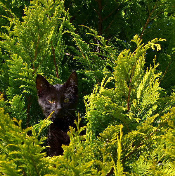 Photo: Jungle Cat