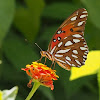 The Gulf Fritillary or Passion Butterfly