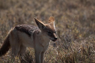 Photo: Black-backed jackal / Šakal čabrakový