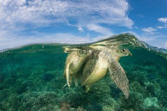 Photo: Mating Green Turtles off Sipidan Island, Malaysiaia