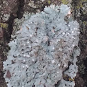Common Greenshield Lichen