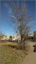 Photo: Salcâm (Robinia pseudoacacia)  - din Turda, Str. Rapsodiei - 2019.03.05