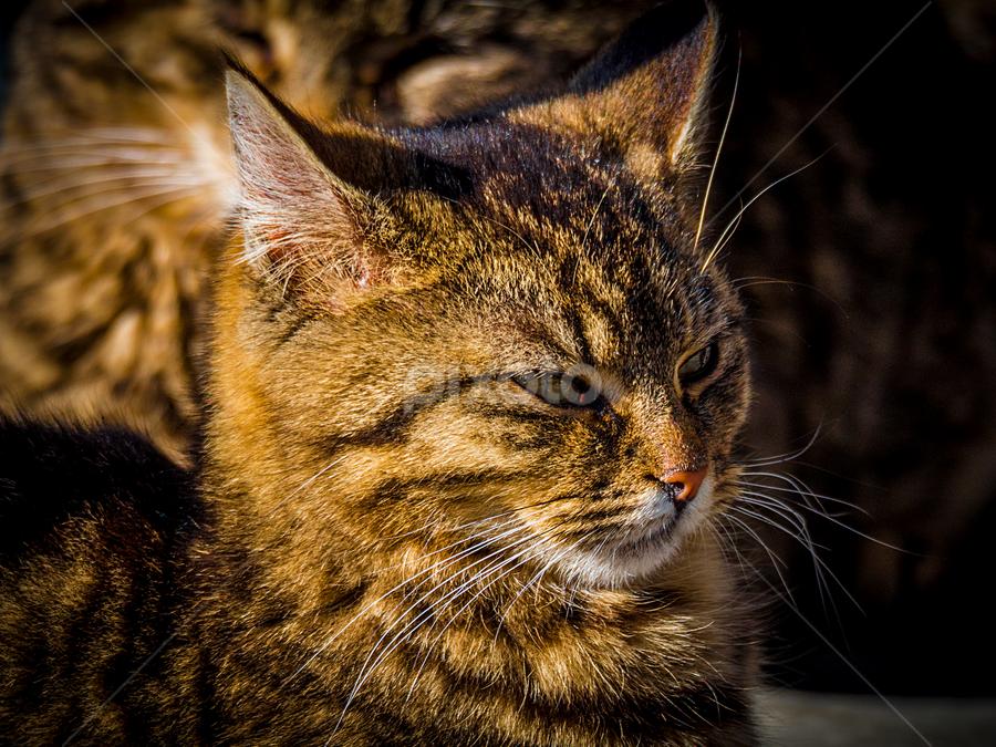 Golden by Roar & Monika Sæthre - Animals - Cats Portraits ( wild, cat, golden, norway, olympus )