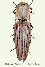 Photo: Chalcolepis luczoti, 35 mm, Costa Rica, Esquinas Rainforest (08°42´/-83°12´), leg. & det. Erwin Holzer