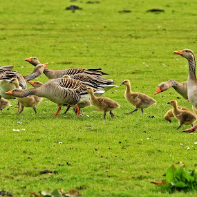 All in the family by Bob Has - Animals Birds ( family, goose,  )