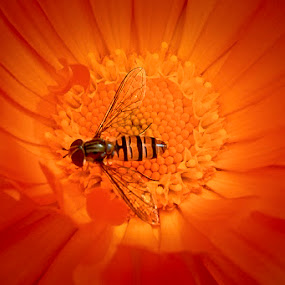 Orange World by Mirza Buljusmic - Animals Insects & Spiders ( sweden, orange, malmoe, macro, malmö, sverige, malmo, flower,  )