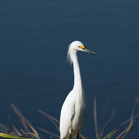 Snowy Egret by Jeri Curley - Animals Birds ( wading bird, wetland, snowy egret, egret,  )
