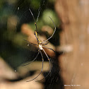Giant Golden Orb Weaver