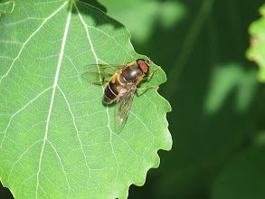 Photo: 12 Aug 13 Priorslee Lake: Another fine hoverfly: this is Eristalis pertinax which, though common, seems to have previously eluded me at this site. (Ed Wilson)