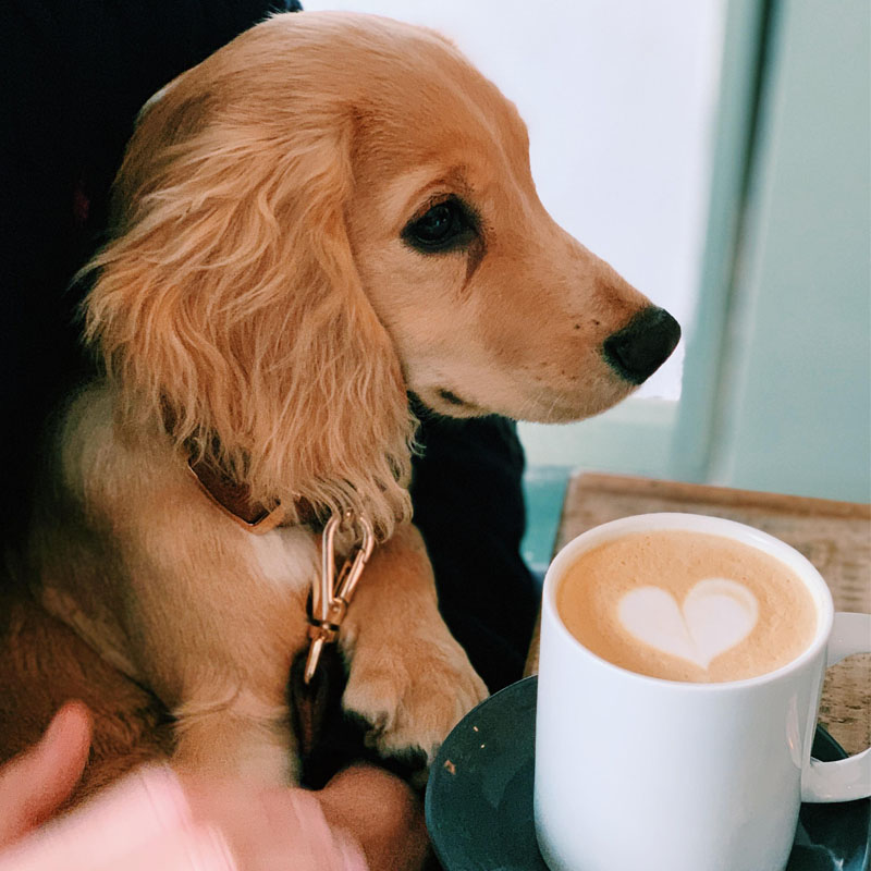 BorrowMyDoggy Cocker Spaniel with a coffee