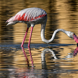 Drinking water  by Franco Salis - Animals Birds