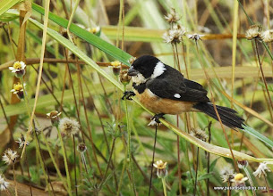 Photo: Male White-collared Seedeater, Nuevo Vallarta
